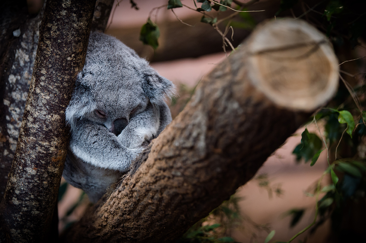 Koala Beauval Marie-Cat photographie Isère photo animalières
