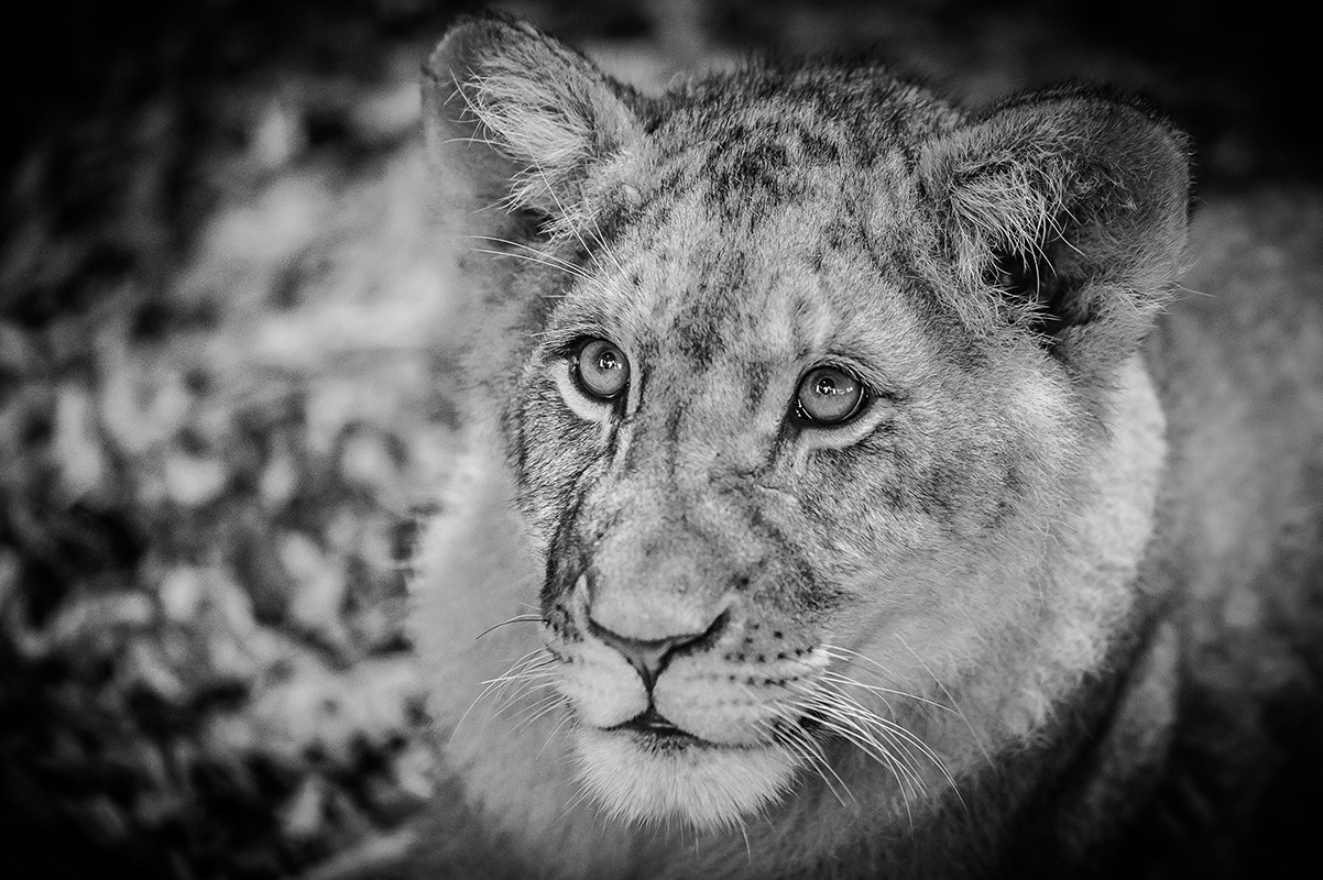 Lionceau Beauval Marie-Cat photographie Isère photo animalières