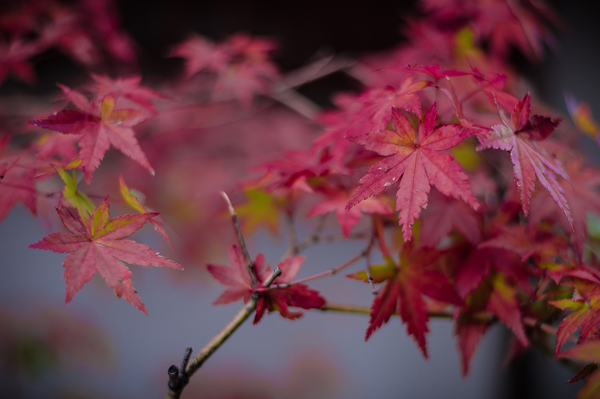Feuille d'automne kyoto Photographe grenoble Isere Marie-Cat Photographies